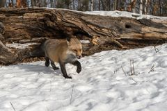 Amber Phase Red Fox Vulpes vulpes Steps Foward Licking Nose Winter royalty free stock photography