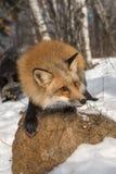 Amber Phase Red Fox Vulpes vulpesmoment framåtriktat på Rock royaltyfria bilder