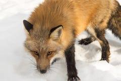 Amber Phase Red Fox Vulpes vulpesslut upp Royaltyfria Bilder