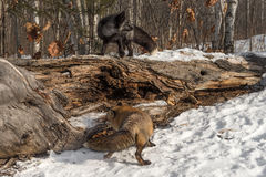 Amber Phase Red and Silver Fox Vulpes vulpes Conquer Log. Captive animals Stock Photos