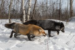 Amber Phase Red and Silver Fox Vulpes vulpes Walk Right Royalty Free Stock Image