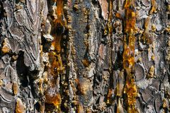 Amber pitch on bark of a brown rough pine trunk. Drops of live resin drip down the bark of a pine trunk Stock Images