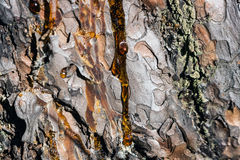 Amber pitch. Flows down on bark of a pine tree Royalty Free Stock Image