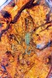 Amber and scorpion inner Stock Image