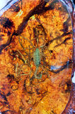 Amber and scorpion inner Royalty Free Stock Images