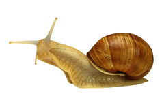 Amber snail Stock Images