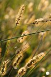 Amber Waves. Grass seed closeup with Bokeh Stock Photo