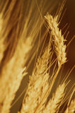 Amber waves of grain Stock Image