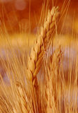 Amber waves of grain. Closeup shot of wheat in the fall Royalty Free Stock Photos