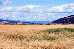 Amber Waves of Grain. A tranquil setting in Montana of a field, mountains, and sky Royalty Free Stock Images