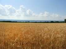 Amber waves of grain along Seneca Lake. Wheat is a grass widely cultivated for its seed, a cereal grain which is a worldwide staple food. The many species of stock photo