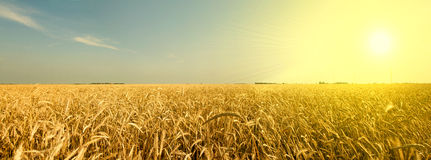 Amber Waves of Grain Royalty Free Stock Images