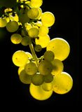 Amber wine grapes. Glowing tasty amber wine grapes Royalty Free Stock Images