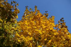 Amber yellow autumnal leafage of maple against blue sky. Amber yellow autumnal leafage of maple against the  sky Royalty Free Stock Photography