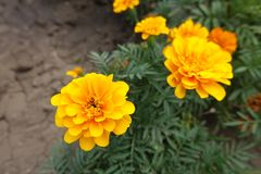 Amber yellow flowerheads of Tagetes patula in summer. Amber yellow flower heads of Tagetes patula in summer stock image
