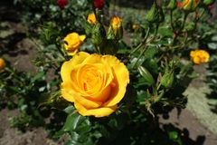 Amber yellow flower of rose in garden. Amber yellow flower of rose in the garden royalty free stock photography