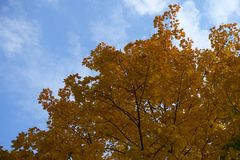 Amber yellow leaves of maple against blue sky. Amber yellow leaves of Norway maple against blue sky Stock Photos