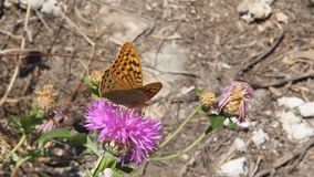 Argynnis pandora, the cardinal, is a butterfly of the Nymphalidae family. Amberboa, is a genus of herbaceous plants of the Aster family Asteraceae stock video