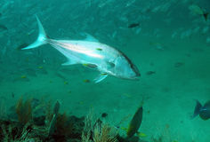Amberfisch Lizenzfreie Stockfotos