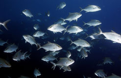 Amberjack in cocos island Stock Image