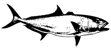 Amberjack fish vector Stock Photography