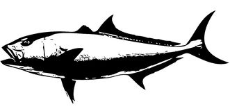 Amberjack fish - vector Royalty Free Stock Photo