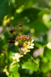 Amberwing Stock Images