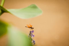 Amberwing Dragonfly Royalty Free Stock Images
