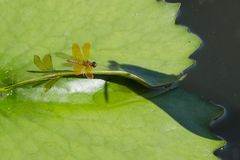 Amberwing Dragonfly on Lily Pad. A very orange dragonfly, right down to the translucent wings and its shadow, alighting on a green lily pad, this is an Amberwing Stock Photos