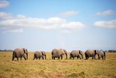 Ambesoli Elephants in Line. A herd of elephants walking across the savannah in Ambesoli National Park, Kenya Royalty Free Stock Photo