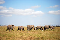 ambesoli słoni linia Zdjęcie Royalty Free
