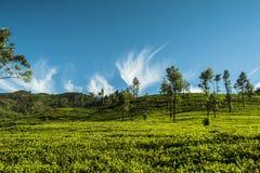 Ambewela, Nuwara Eliya Sri Lanka Fotografie Stock Libere da Diritti