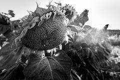 Ambiente marchito marchitado de la tristeza del campo de los girasoles blanco y negro Fotos de archivo libres de regalías