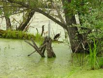 Ambiente natural del pantano de la garza verde imagen de archivo