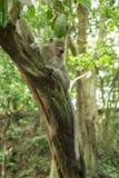 Ambiente salvaje de la selva del árbol del mono de la fauna Imágenes de archivo libres de regalías