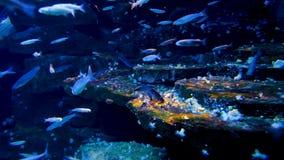 Ambiente subaquático do mar do oceano com os vários peixes marinhos em um aquário marinho video estoque