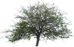 Ambiente verde da natureza do fundo da árvore isolado Fotos de Stock