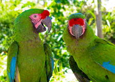 ambigua ara极大的绿色金刚鹦鹉 库存图片