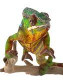 ambilobe kameleonu pantera Zdjęcie Stock