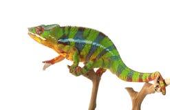 Ambilobe Panther Chameleon Royalty Free Stock Photo