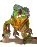 Ambilobe Panther Chameleon Stock Photo