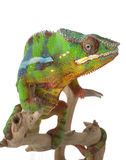 Ambilobe Panther Chameleon Stock Photography