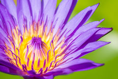 Ambiti di provenienza dei petali del fiore di Lotus Fotografie Stock