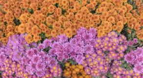 Ambiti di provenienza del fiore del crisantemo variopinti Fotografia Stock Libera da Diritti