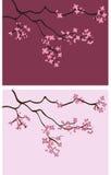Ambiti di provenienza del fiore di ciliegia - illustrazione di vettore Immagini Stock