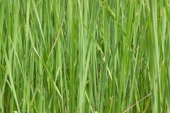 Ambiti di provenienza dell'erba verde Immagine Stock Libera da Diritti