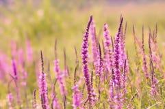 Ambiti di provenienza della natura - fiori porpora accesi posteriori Fotografie Stock