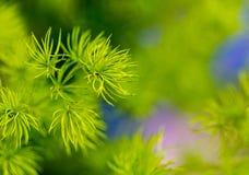 Ambiti di provenienza della pianta Aghi sempreverdi del primo piano estremo sull'albero Fotografie Stock