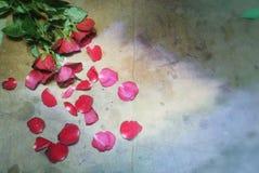 Ambiti di provenienza delle rose Fotografia Stock Libera da Diritti