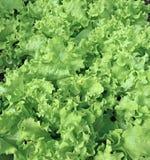Ambiti di provenienza di coltivare una lattuga di verdure Fotografia Stock Libera da Diritti